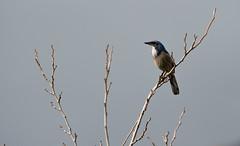 Scrub Jay (soundstruck) Tags: bird scrubjay clm chatsworthlakemanor