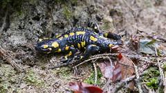 Feuersalamander (Aah-Yeah) Tags: feuersalamander salamander salamandra caudata schwanzlurche lurch achental chiemgau bayern auge