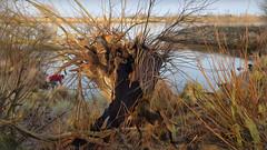 Bildschichten Am Fluss 24 Wieltsee (wos---art) Tags: bildschichten fluss river wasser water unterwasser underwater gestrüpp bäume baum verbrand ausgehöhlt rus äste ufer