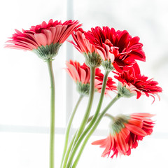 Flowers in the Window. Week 6: Manual mode and Manual Focus (montrealmaggie) Tags: flowers daisy red overexposed