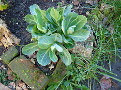 February 21st, 2019 Spring greens (karenblakeman) Tags: cavershamgarden caversham uk brassica cabbage springgreens vegetable 2019 2019pad february reading berkshire