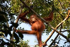 Orangutan in borneo 2 (Aerisabel) Tags: indonesia orangutan animal wild nature borneo travel asia tree forest wood bear tanjung puting