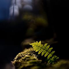Seeking the sun... (.: mike | MKvip Beauty :.) Tags: sony⍺7markiii sony⍺7iii sonyilce7m3 sonyalpha7m3 sonyalpha sony alpha emount ⍺7iii ilce7m3 ibis sigmafe50mmƒ14dghsm|a sigma art 50mmƒ14 closeup macro makro handheld availablelight naturallight backlight backlighting shallowdof bokeh bokehlicious beyondbokeh extremebokeh smoothbokeh dreamy soft zen nature fern spring karlsruhe grötzingen germany europe mth mkvip sigmafe50mmƒ14dghsm|art ngc npc