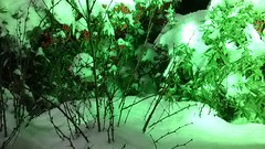 kokina flowers in snow (zenziyan) Tags: kokina christmas flower red green snow white plant garden winter berry flowers