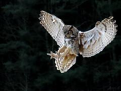 Oliver Great Horned Owl CRC IMG_4303_edited-1 (Jennz World) Tags: ©jennifermlivick canadianraptorconservancy vittoria ontario canada greathornedowl owl raptor