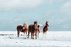 Studs (osreed) Tags: snow ice winter cold frost horses studs trio models landscape cornwall davidstow animals