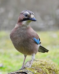 Jay (LouisaHocking) Tags: british bird wild wildlife southwales wales forestfarm cardiff nature jay gardenbird