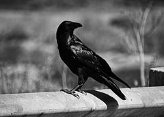 Dark creature (mgschiavon) Tags: blackandwhite blackwhite bw bird animal nature ontheroad contrast california closeup dark