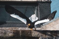 Steller's sea eagle (TheSaOk) Tags: kuningasmerikotka stellersseaeagle haliaeetuspelagicus outoffocus birds birdlife linnut kotka