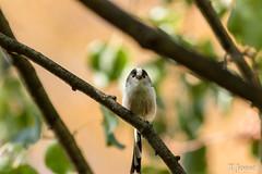 20180908_Vincennes_Mésange à longue queue-2 (thadeus72) Tags: aegithalidae aegithalidés aegithaloscaudatus aves birds longtailedtit mésangeàlonguequeue oiseaux passériformes