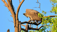 White-backed Vulture (0130) (Bob Walker (NM)) Tags: bird tree perching whitebackedvulture vulture gypsafricanus khwaitentedcamp moremigamereserve botswana
