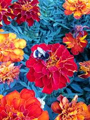 bumblebee (msergeevna) Tags: цветы шмель насекомые красота природа август лето клумба цветынаклумбе nature summer august flower flowers bumblebee insect elokuu luonto luontokuvaus фотоприроды kukka kimalaiset prestigio