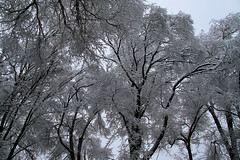 Snowy Elms (arbyreed) Tags: arbyreed snow winter cold trees snowcoveredtrees elmtrees snowcoveredelms frozen icy