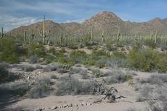 (|) Sonoran Desert Flora Panorama - I. (|) (Wolverine09J ~ 1.8 Million Views) Tags: sonorandesert flora panoramic landscape southernarizona cacti hills sky clouds latewinter sand saguaronationalpark autofocuslevel1 dreamsilldream autofocuslevel2 autofocuslevel3 autofocuslevel4 autofocuslevel5 autofocuslevel6 frameit~level01 fantasticnaturegroup autofocuslevel7 nationalgeographic|worldwide