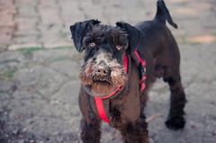 Frida the Queen (santizubi97) Tags: schnauzer dog nikon d5100 70300mm portrait animal