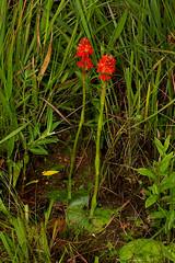 Satyrium orbiculare (zimbart) Tags: malawi nyikaplateau africa flora flowers angiosperms monocots asparagales orchidaceae satyrium satyriumorbiculare
