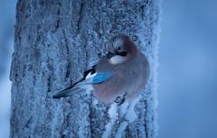 Jay (MrBlackSun) Tags: jay finland landscape nature bird birds birdlover birdlife wildlife birdlovers hideout nikon d850 nikond850