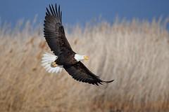 Bald eagle (Haliaeetus leucocephalus) in flight (rangerbatt) Tags: bald eagle baldeagle haliaeetusleucocephalus d7500 sigma150600mmsports utahwildlife bird wildutah baldeagleinflight eagleinflight bif birdinflight greatsaltlakewetlands nikon animal sky