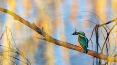 Martin-pêcheur (Dakysto94) Tags: martinpecheur martin tintin kingfisher oiseau bird nature