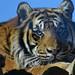 Sumatran Tiger ZSL
