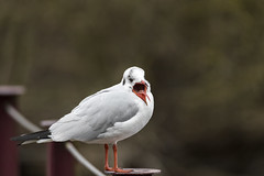 Dans ma bouche - Inside my mouth (bboozoo) Tags: oiseau bird mouette seagull nature animal wildlife canon6dii tamron150600 mouth bouche langue tongue