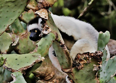Verreaux's Sifaka (Propithecus verreauxi) (Susan Roehl) Tags: •madagascar2017 largeislandoffthecoastofafrica lemur verreauxssifaka propithicusverrauxi endemictoisland modeoflocomotion hoppingsidewayswitharmsup patternoflocomotion 101speciesandsubspecies mediumsized indriidaefamily varietyofhabitats rainforest deciduousdryforests thicksilkyfur longtail arborealexistence smalltroops foursubspecies generally18yearsold sueroehl photographictours naturalexposures panasonic lumixdmcgh4 100400mmlens animal mammal herbivore conspiracy coth5 ngc npc