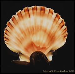 Shells 2C (henharr1er) Tags: 2019 backlighting blackedout d750 flash january lighttent nikon2470f28 r1c1 shells studio
