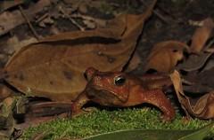 Rhinella margaritifera (Maira Holguín) Tags: rana frogs colombia anura neotropical herpetology bufonidae sapos