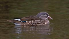 Mandarin Duck ( Aix galericulata) Female (Dale Ayres) Tags: mandarin duck aix galericulala female bird nature wildlife water