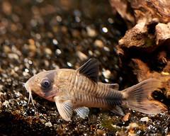 Corydoras panda. (d50harry123) Tags: corydoras panda corydoraspanda aquarium fish vis
