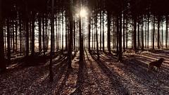 Hund, Wald, Sonne... (lichtflow.de) Tags: iphone lichtflow gegenlichtaufnahme stimmungsvoll spaziergang walking dog hund outdoor nature sonne sun forrest wald