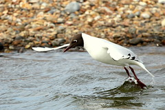 Black-headed Gull-7D2_2901-001 (cherrytree54) Tags: canon sigma 7d 150600 rye harbour east sussex black headed gull