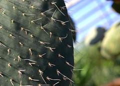 More Prickles (timmerschester) Tags: closeup cactus prickles detroit michigan belleisleconservatory plant