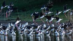 Settling Down, Black-necked Stilt (Himantopus mexicanus), Haiti (MikeM_1201) Tags: blackneckedstilt flock bird animal nature wildlife etang water shore wading bif landing d500 haiti morning