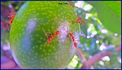 staring back at me… (Jinky Dabon) Tags: fujifilmfinepixhs35exr insects ant ants redants colonies colony fruit tree nature