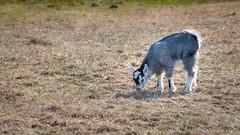 Baby Goat (Mikael Neiberg) Tags: goat farm animalfarm animal babyanimal younggoat eating grass spring cute nikond700 nikoncamera nikkor af 75300mm f4556 fallkulla fallkullankotieläintila