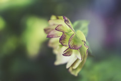 in a dream (rockinmonique) Tags: muttartconservatory flower bloom blossom petal green yellow purple selectivefocus soft dreamy light macro bokeh moniquewphotography canon canont6s tamron tamron45mm copyright2019moniquewphotography