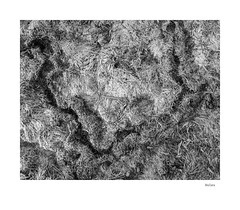 Voles (agianelo) Tags: lawn burrow monochrome bw bn blackandwhite texture abstract