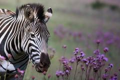 Zebra  ......     female (Hannah 0013) Tags: zebra canon nature wildlife pompomflowers animal field grass purple