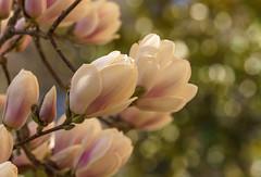 Große Blüten (KaAuenwasser) Tags: magnolie blüten knospen ast äste zweig baum strauch busch gehölz pflanze botanischergarten nah makro park anlage garten blüte gros sony ilce7rm3