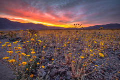 Death Valley Superbloom Sunrise (Jeff Sullivan (www.JeffSullivanPhotography.com)) Tags: photography workshop death valley national park deathvalley nationalpark california usa nature travel canon eos 5dmarkiii roadtrip photo copyright 2016 jeff sullivan blogger allrightsreserved march superbloom desert gold sunrise hdr photomatix
