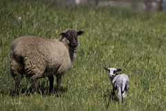 Isn't my baby cute? (Lisa Roeder) Tags: blackandwhitelamb babysheep babylambs