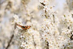 Le printemps est là_2 (Croc'odile67) Tags: nikon d3300 sigma contemporary fleurs flowers nature papillons printemps spring fruhling 18200dcoshsmc