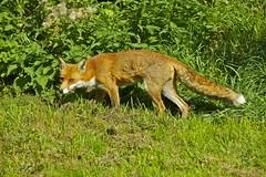 FOX (tony.cox27) Tags: fox