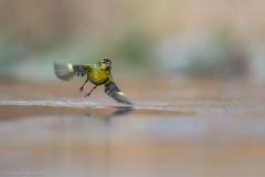 Erlenzeisig / Eurasian Siskin (eric-d at gmx.net) Tags: erlenzeisig zeisig siskins spinusspinus wildlife eric ngc eurasian siskin birds male