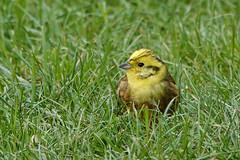 Yellowhammer (sumowesley) Tags: bird fauna nature oldmoor yellowhammer