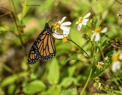 Monarch Butterfly (Mike_FL) Tags: monarchbutterfly nikon nature nikond7500 tamron100400 outdor snakewarriorsisland image photograph florida floridawildlife naturethroughthelens