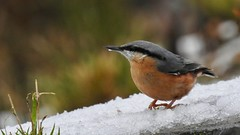 Nuthatch (LouisaHocking) Tags: wild wildlife cyfarthfapark nature southwales wales merthyr bird british winter cold ice garden snow