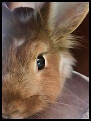 A Bella Bun Portrait (markdavidsmom) Tags: red blonde reflection beautiful soft face portrait pet rabbit bunny