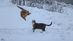 ❅ Britney In Orbit ❅ (Xena*best friend*) Tags: britney bs georgeclooney gc flyingcats madcats crazycats jumpingcats gingercats cats whiskers feline katzen gatto gato chats furry fur pussycat feral tiger pets kittens kitty animals piedmontitaly piemonte canoneos760d italy wood woods wildanimals wild paws calico markings ©allrightsreserved purr digitalrebelt6s efs18135mm flickr outdoor animal pet photo nature winter cold catlover snow frozen freezing winterwonderland ilovewinter ilovesnow catsinthesnow catshavingfuninthesnow wonderfulwinter snowcat inorbit catsinorbit kittystormtroopers